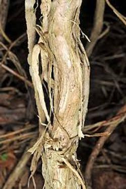 Japanese honeysuckle - Lonicera japonica 15