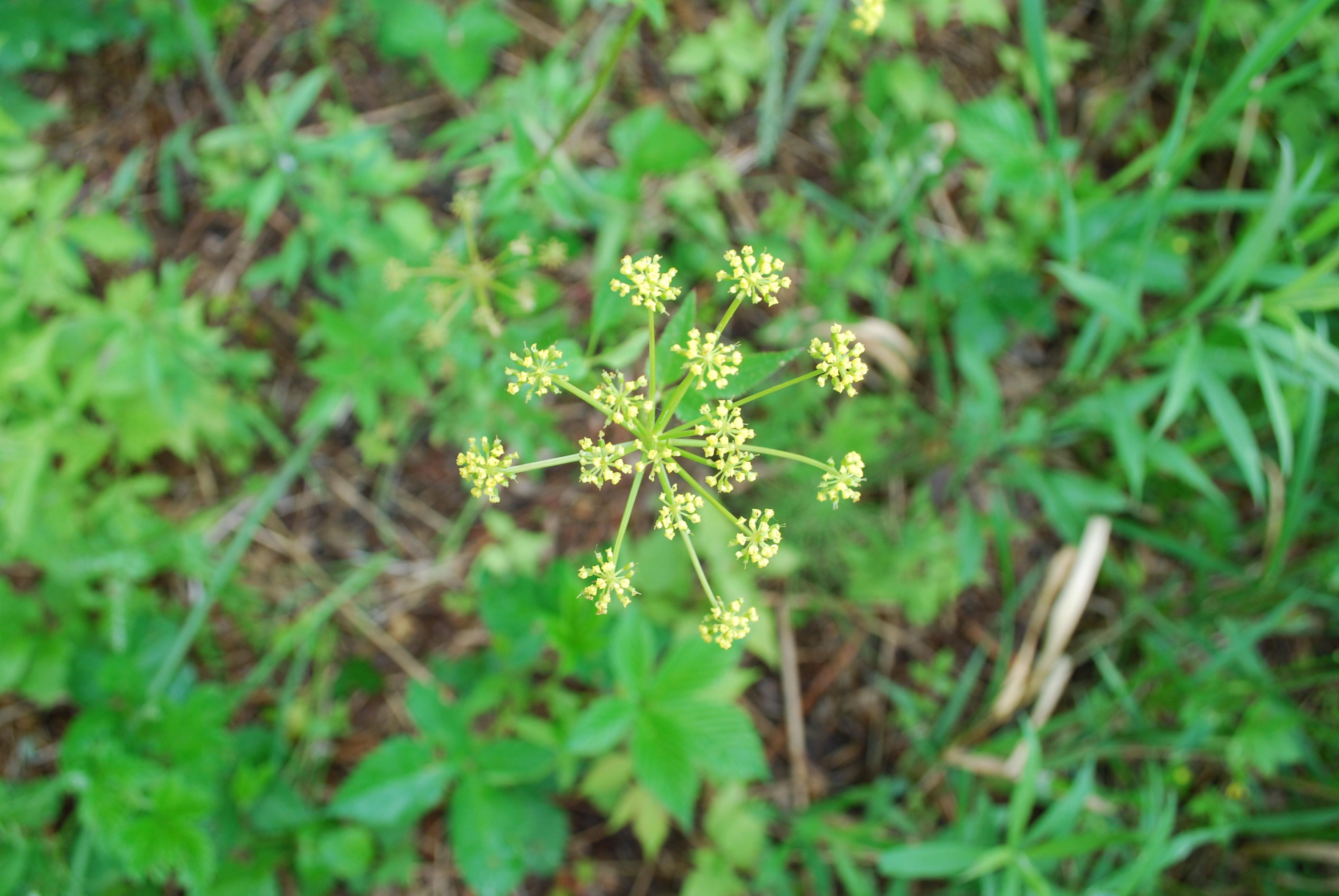 Wild parsnip - Pastinaca sativa 49