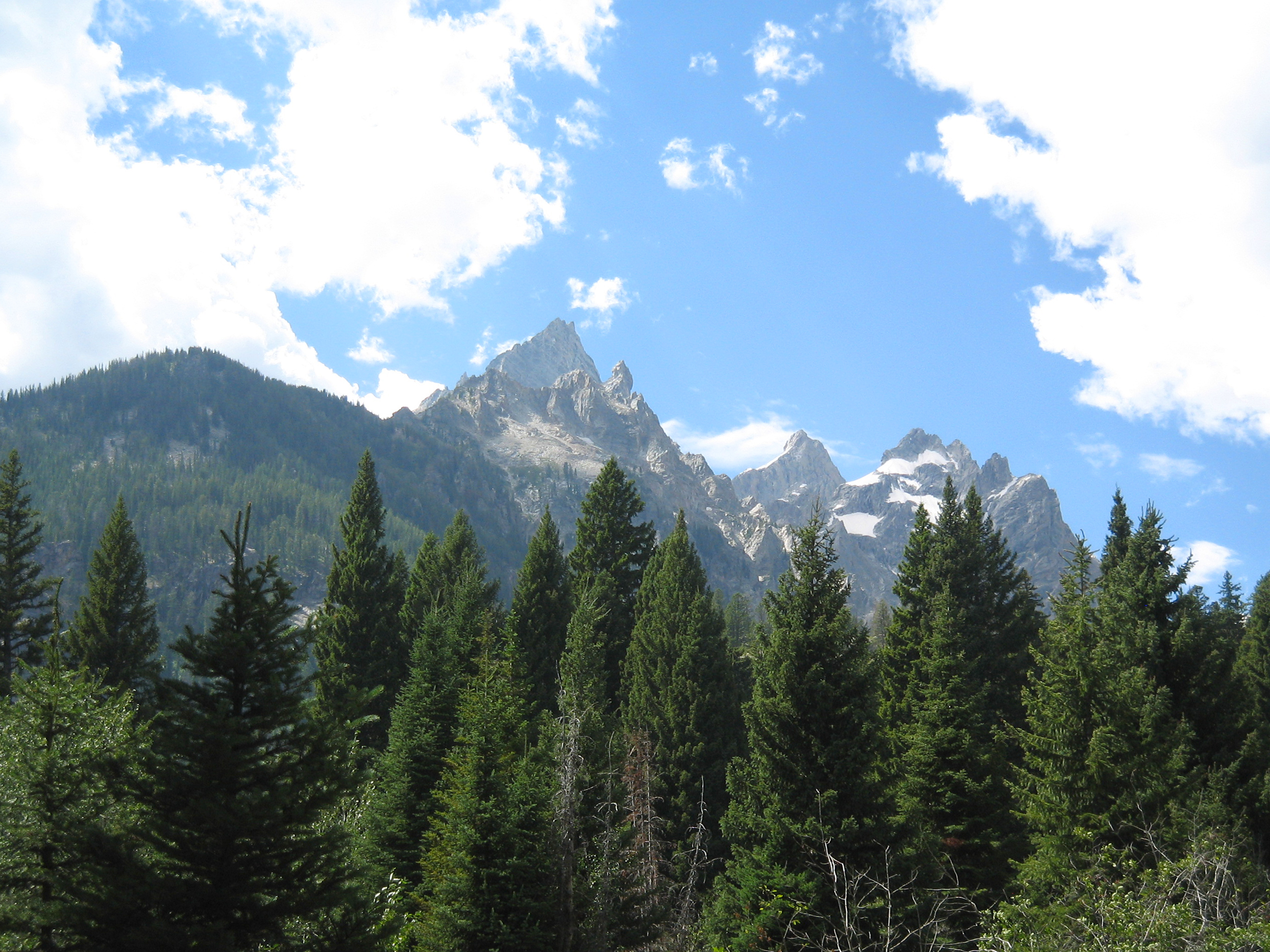 Douglas fir - Pseudotsuga menziesii 23
