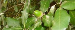 Holm oak - Quercus ilex 21