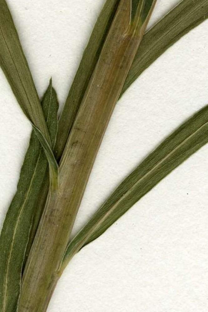 Leafy spurge - Euphorbia esula 34