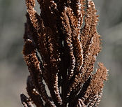 Clover broomrape Biodiversity Medium Risk Invasive Species 14