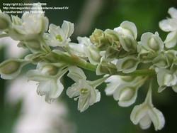 Russian-vine - Fallopia baldschuanica 1