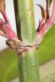 Himalayan honeysuckle - Leycesteria formosa 19