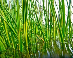 Cordgrasses_-Spartina_9