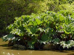 Giant Rhubarb - Gunnera tinctoria leaves water 3