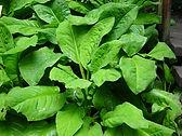American skunk cabbage leaves