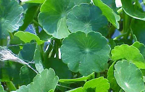 Floating Pennywort - Hydrocotyle ranunculoides (46)