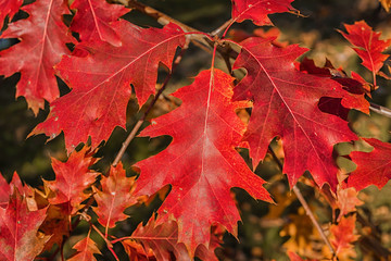 Red oak - Quercus rubra 4