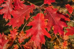 Red oak - Quercus rubra 4