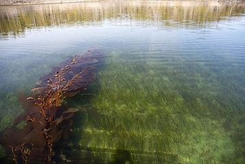 Dwarf Eelgrass - Zostera japonica