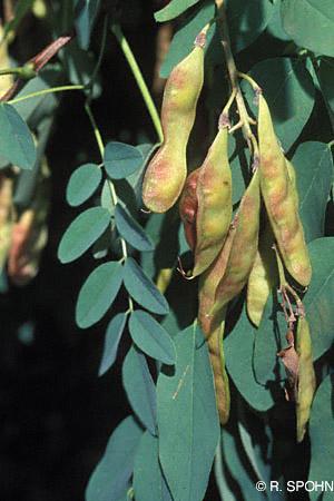 False acacia - Robinia pseudoacacia 44