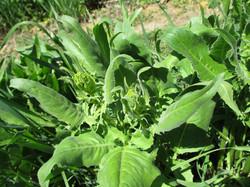 Warty cabbage - Bunias orientalis 38