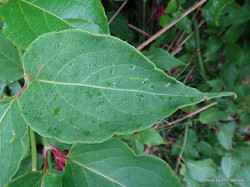 Himalayan honeysuckle - Leycesteria formosa 6