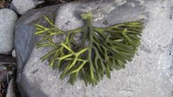 Dead man's fingers - Codium fragile ssp. tomentosoides 1