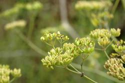 Wild parsnip - Pastinaca sativa 9