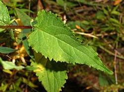 Creeping Bellflower - Campanula rapunculoides 3