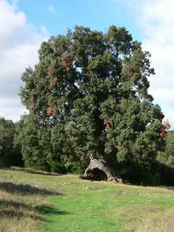 Holm oak - Quercus ilex 9