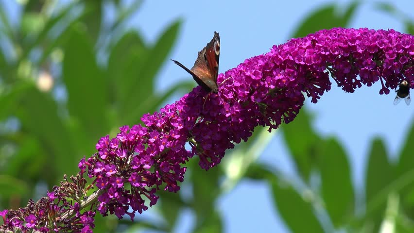 Butterfly Bush - Buddleja davidii1