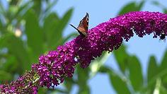Butterfly-bush - Buddleja davidii Flower
