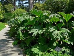 Giant Rhubarb - Gunnera tinctoria leaves