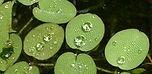 Giant Salvinia Leaves