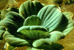 Water_Lettuce_-Pistia_stratiotes_88