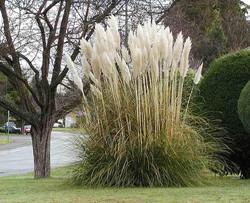 Pampas grass - Cortaderia selloana 16
