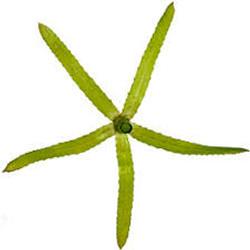 Waterweeds_-Hydrilla-verticillata_3