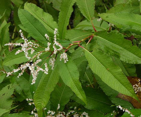 Himalayan_Knotweed_- Persicaria_wallichii_8