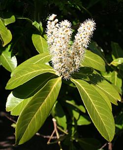 Cherry Laurel - Prunus laurocerasus 7