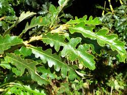 Turkey oak - Quercus cerris 11