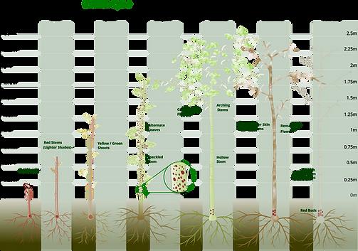 Japanese Knotweed Growth Cycle