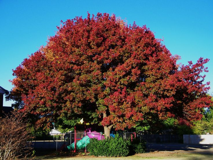 Red oak - Quercus rubra 1