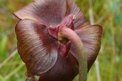 Pitcherplant - Sarracenia purpurea 15