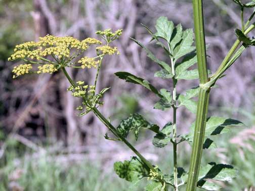 Wild parsnip - Pastinaca sativa 53