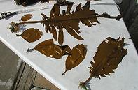 Wakame -Undaria pinnatifida