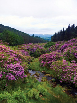 Rhododendron_-Rhododendron_ponticum35
