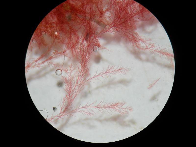 Antithamnionella ternifolia 11
