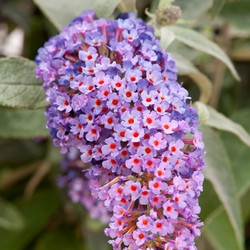 Butterfly Bush - Buddleja davidii9