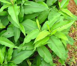 Himalayan_Knotweed_-Persicaria_wallichii_leaf_5