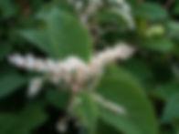 Giant Knotweed Flower