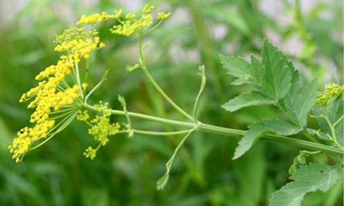 Wild parsnip - Pastinaca sativa 28