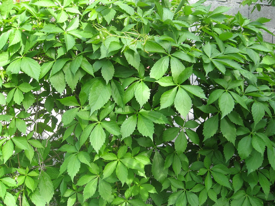 Virginia-creeper - Parthenocissus quinquefolia 17