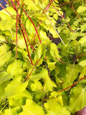 Russian-vine - Fallopia baldschuanica 10