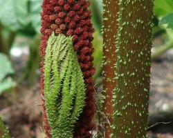 Giant-Rhubarb - Gunnera  tinctoria New-Leaf