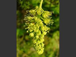 Sycamore - Acer pseudoplatanus 18