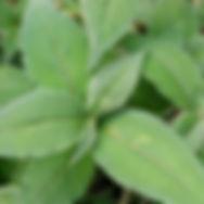 Lesser Knotweed Leaves