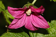 Salmonberry_-Rubus_spectabilis_46