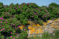 Japanese rose - Rosa rugosa 19